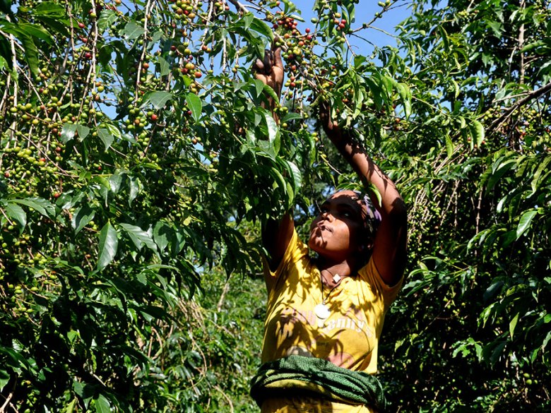 Woman picks ripe coffee berries from an overhanging bush.