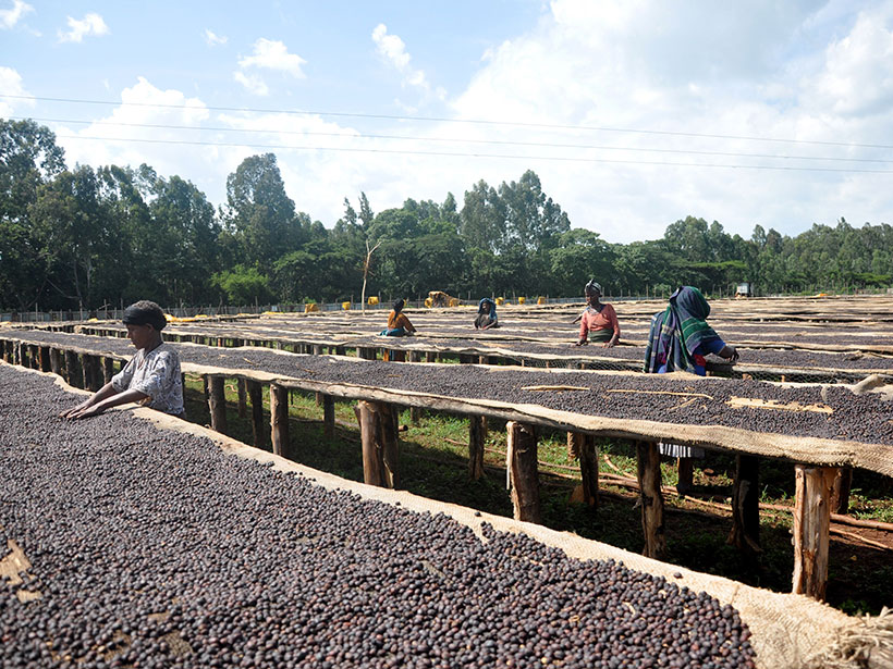 People sort through coffee beans on huge outdoor tables.