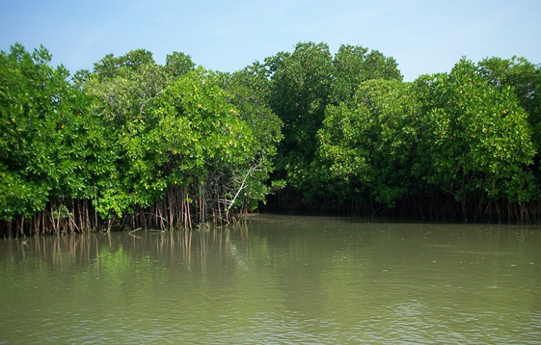 A mangrove forests rises from a muddy coastline.