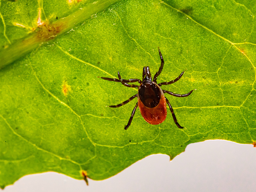 Black-legged ticks, also known as deer ticks, are responsible for transmitting Lyme disease in the United States and Canada.