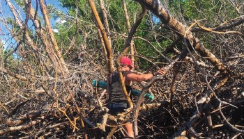 A researcher climbs through dead mangrove trees on the island of Vieques in November 2019.