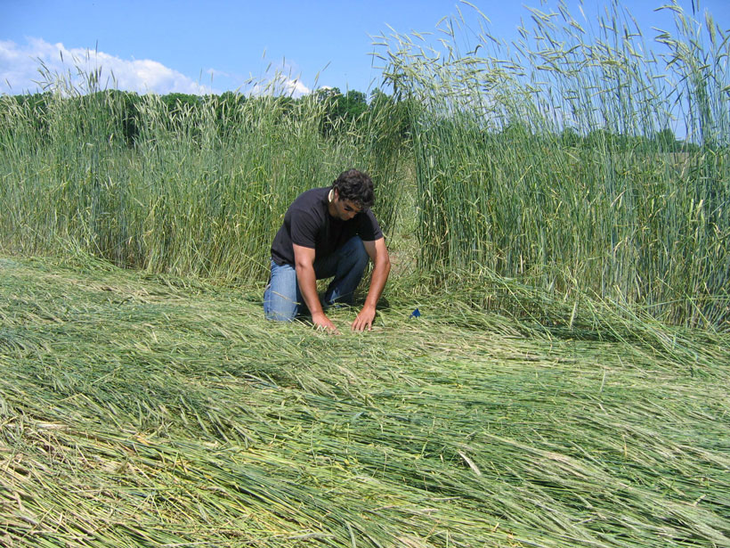 Research ecologist Steven Mirsky evaluates a cereal rye cover crop.