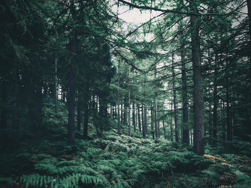 A forest with boreal trees rich in leaves and vegetation