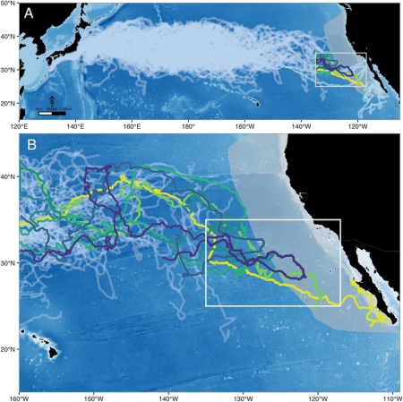 Map of migration of 231 sea turtles shows divergent tracks for six turtles that travel to the North American coast