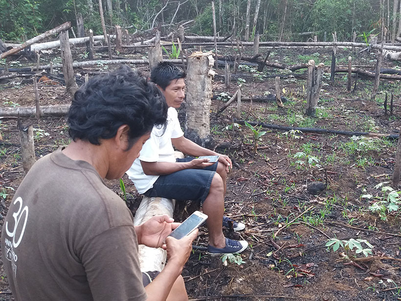 Kichwa forest monitors in a deforested site at Copal Urco in the Peruvian Amazon.