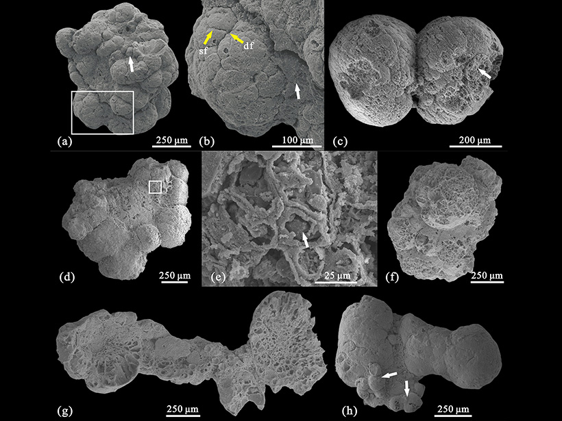A collection of globular, multicellular membrane-bearing algae from the Kuanchuanpu biota