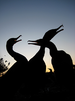 Several cormorants are seen here in silhouette.