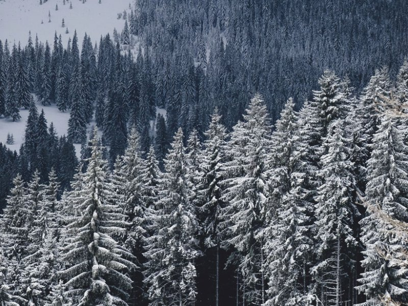 Tall conifers and snow cover a mountainside.