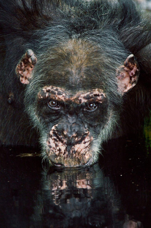Un viejo chimpancé bebe agua en una charca, en Fongoli, Senegal