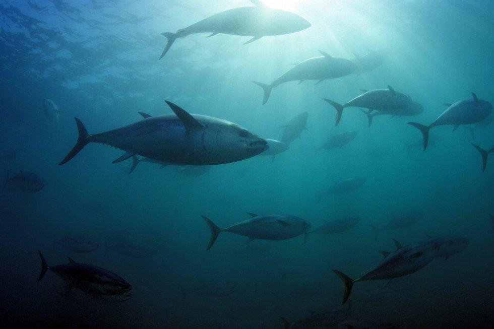 O atum-do-sul ('Thunnus maccoyii') vive nos oceanos Atlântico, Índico e Pacífico e aparece na Lista Vermelha como uma espécie em perigo crítico de extinção por sua pesca excessiva. Se o atual ritmo de exploração for mantido, esta espécie pode desaparecer: a IUCN alerta que a biomassa reprodutora diminuiu mais de 85% em menos de 40 anos (1973–2009).