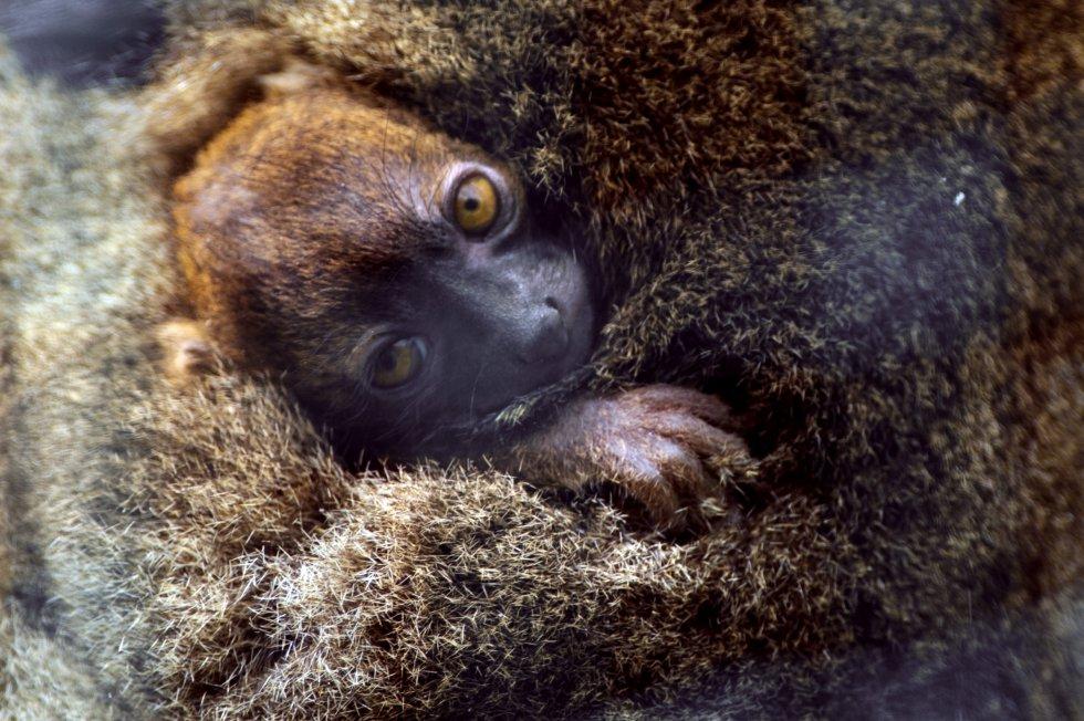O lêmure-gentil ('Prolemur simus'), que vive em Madagascar, aparece na Lista Vermelha como uma espécie em perigo crítico de extinção desde 2008. A população diminuiu 80% em menos de 30 anos por motivos como o corte de bambu, a mineração e a destruição de seu hábitat. Atualmente, a IUCN contabiliza cerca de 500 exemplares. Na imagem, um filhotinho no aconchego de sua mãe no zoológico de Besançon, no leste da França.