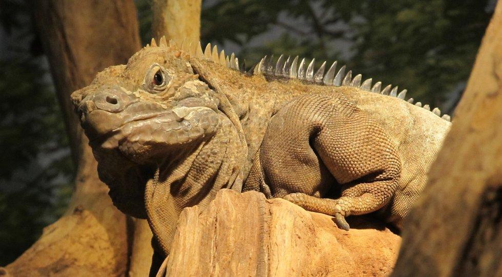 A iguana da Jamaica ('Cyclura collei') está em perigo crítico de extinção, segundo a UICN. É uma espécie endêmica da Jamaica. Não se sabe com precisão quantos exemplares restam, mas se estima que sejam menos de 200. A população continua diminuindo por causa da destruição de seu hábitat e da introdução de espécies predadoras.