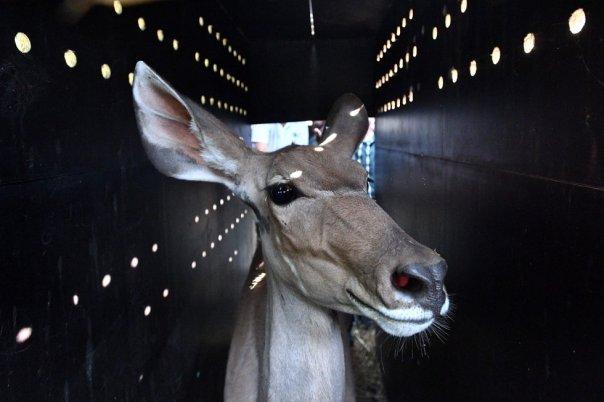 Un antílope de kudu antes de ser transportado al Zoo de La Teste en Les Mathes (Francia), en mayo.