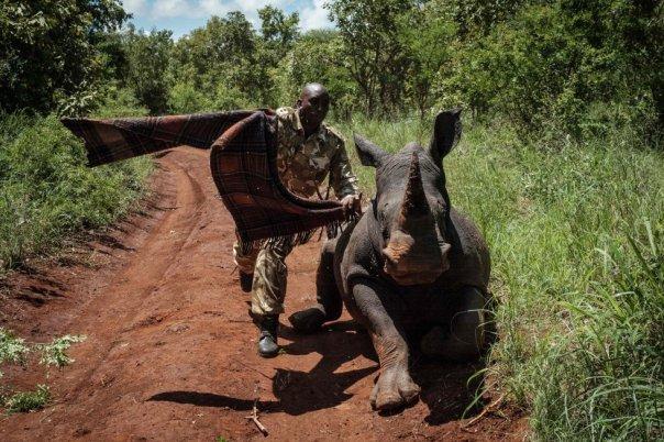 Un guardabosque de Kenia Wildlife Services (KWS) trata de tapar los ojos de la rinoceronte hembra sureña de 2 años y medio, Elia, para calmarla después de recibir un disparo tranquilizante desde un helicóptero durante un ejercicio de identificación en el Parque Nacional Meru, a 350 km de Nairobi, Kenia, el 5 de abril de 2018.