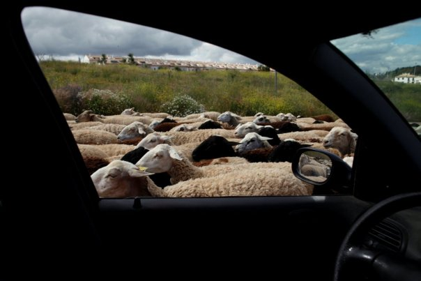 Un rebaño de ovejas a las afueras de Ronda (España), en junio 2018.