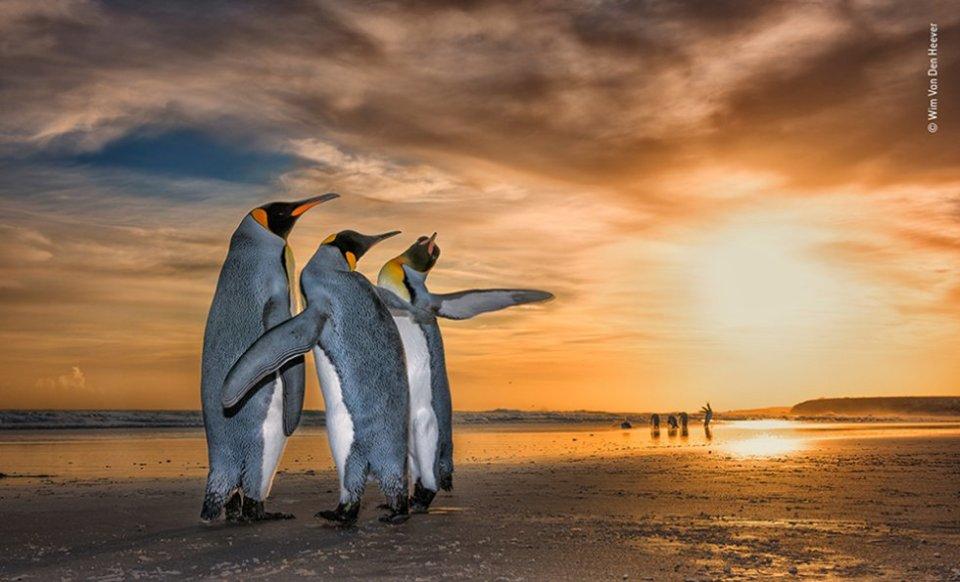 Wim se encontró con estos pingüinos rey en una playa en las Islas Falkland justo cuando el sol salía. Estaban atrapados en un fascinante comportamiento de apareamiento: los dos machos se movían constantemente alrededor de la hembra usando sus aletas para defenderse del otro.