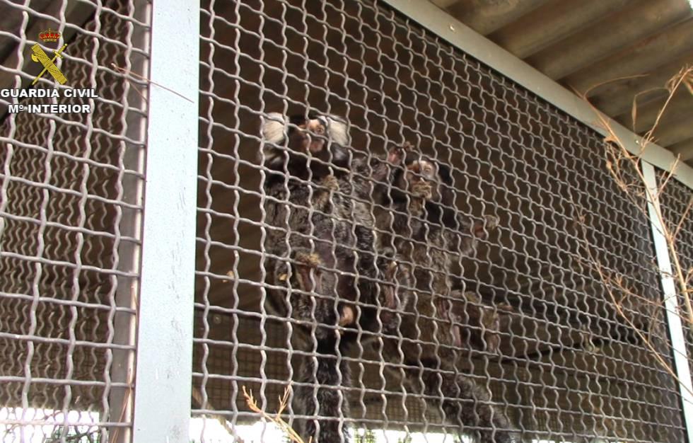 Dos de los monos capturados por la Guardia Civil.