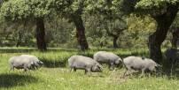 Cerdos ibéricos en una dehesa de Burguillos del Cerro, Badajoz.