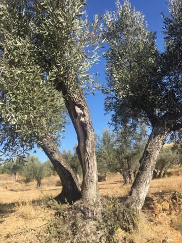 Prince Happy, the olive tree sponsored by Carmen Revillo.