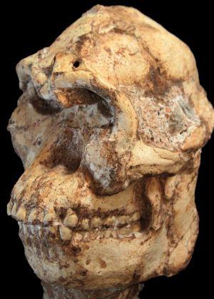 Cráneo del 'Australopithecus prometheus' conocido como 'Little Foot' / JASON HEATON
