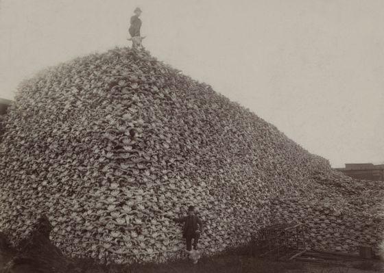 Las sobreexplotación de los recursos es uno de los factores que están acelerando la extinción. En la imagen, una montaña de cráneos de bisonte americano.