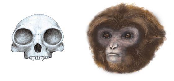 Reconstrucción del cráneo y la cara de 'Pliobates cataloniae'