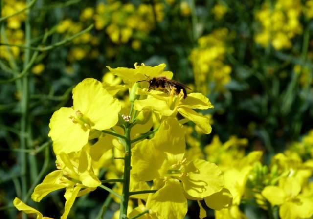 De las más de 200 especies de abejas que hay en Inglaterra, una treintena se alimenta de las flores de colza.