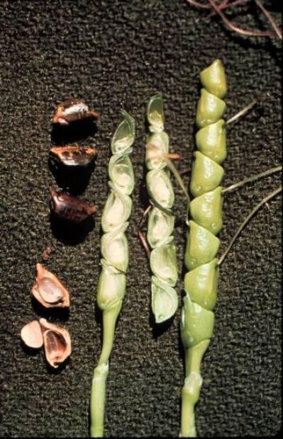 Granos y mazorca del teosinte, el antecesor del maíz.