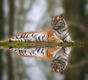 El tigre, en otro tiempo un depredador extendido y dominante, es hoy extremadamente raro en la mayor parte de su antiguo hábitat natural.