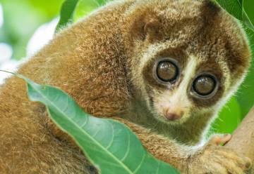El loris lento, un primate primitivo, es un habitante de las junglas intactas del sur de Asia.