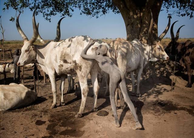 Un niño mundari estimula a una de sus vacas para aumentar la producción de leche, Sudán del Sur.