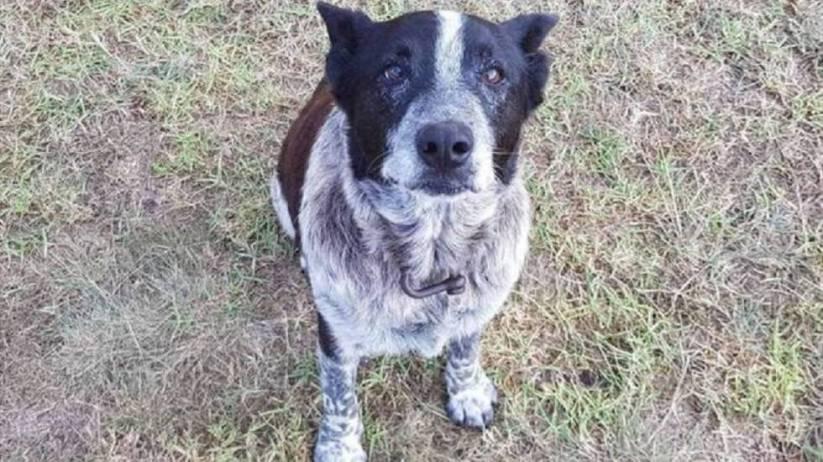 'Max', el perro que permaneció con una niña perdida en un bosque de Australia durante 16 horas.