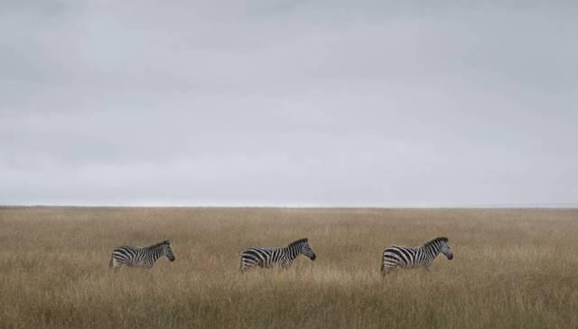 Zebras no Masai Mara. São uma das presas habituais dos leões