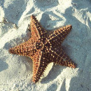 Una estrella de mar en Cuba.