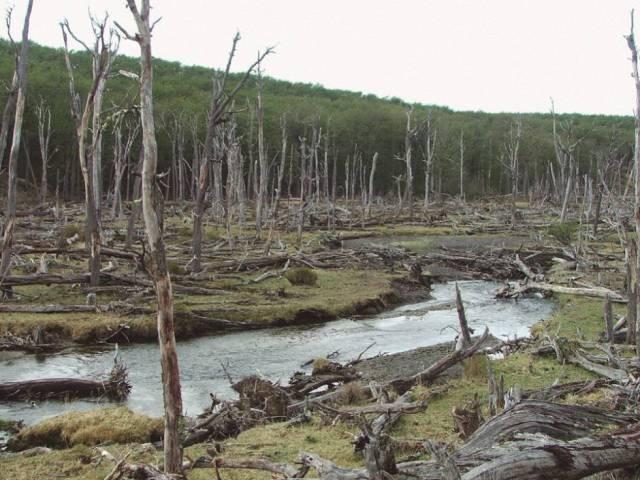 Bosque destruído pelos castores