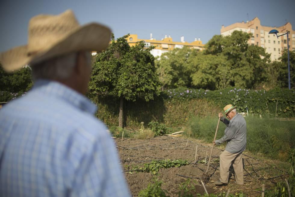 Juan Borrego, al fondo, hortelano en los huertos urbanos de Miraflores desde hace 14 años.