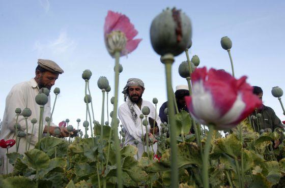 Plantación de amapolas en Afganistán.