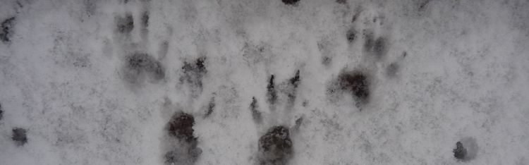 Snowy conditions can be a give away for species presence, such as these squirrel footprints.