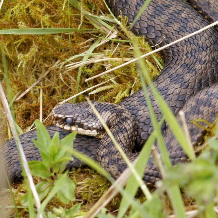 An adder, the species on which the EP Ecological consultancy logo is based.