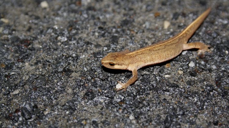 Palmate newt. Palmate newts are not offered the same protection within Scotland as are their larger cousin, the great crested newt.