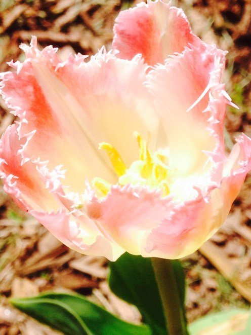 Fringed Tulip - Bell Song