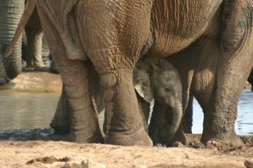 Great Elephant viewing nearby Woodall Country House at Addo Elephant National Park