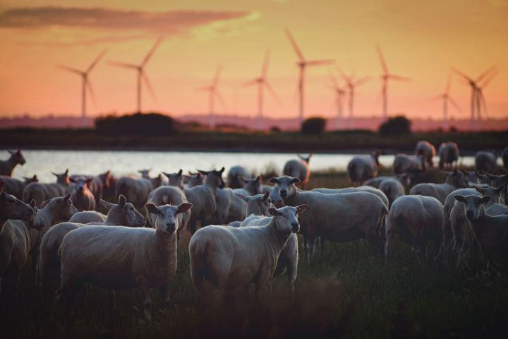ovejas, ganadería energía eólica nueva zelanda