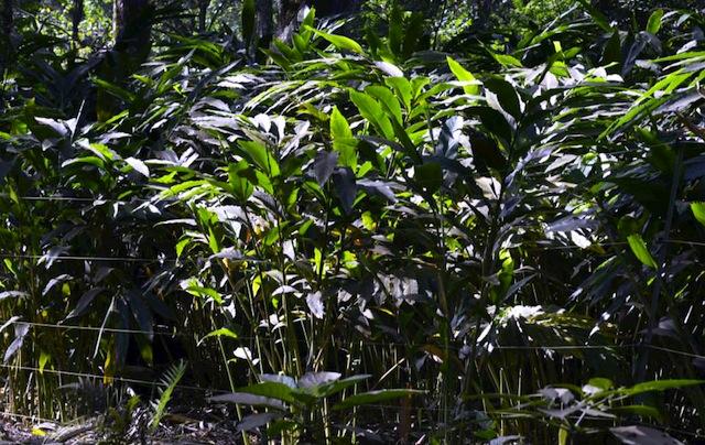 cardamom plantation