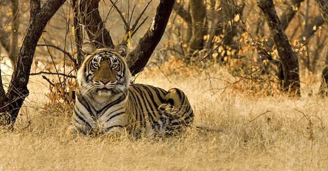 Tiger sightings with National Habitat Adventures