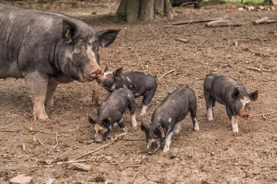 Berkshire Pigs at the farm. Photo courtesy of Cape Resorts.