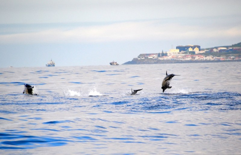 wildlife in the azores