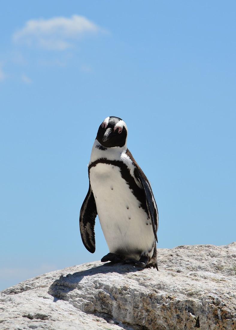 african penguine