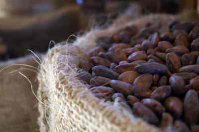bribri cacao