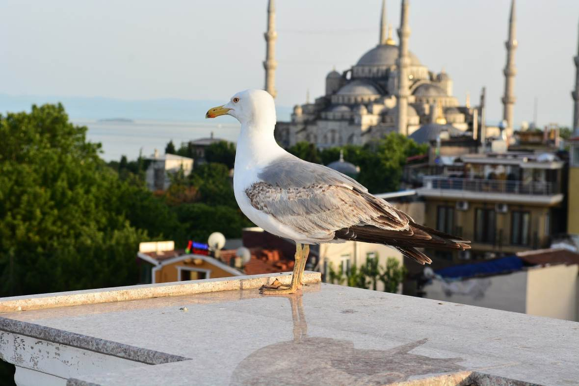 Bird on top of Blue Mosque in Istanbul